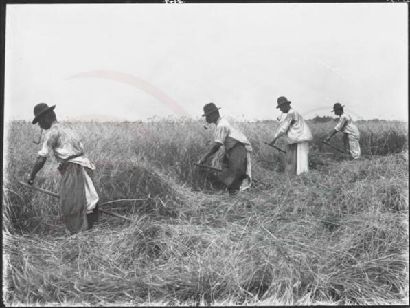 Kaszás aratás. A kaszások által rendre vágott gabonát villával gyűjtötték össze.