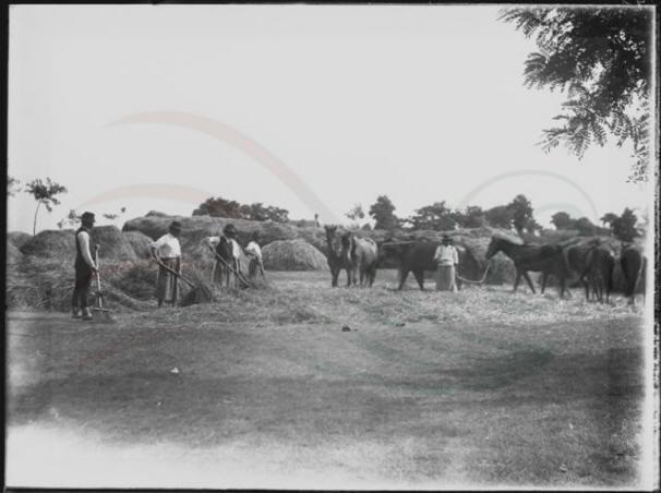 A szérűn körben szétterített vontatókat lovakkal nyomtatták el.