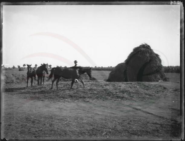 Nyomtatás lóval. A szérűn 5-6 vontató gabonát körben beágyaztak, szétterítettek, majd lovakkal megjáratták, hogy a szem kiperegjen.